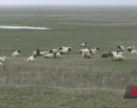 Окружили: в Румынии работе базы НАТО мешают овцы