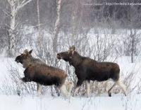 В течении года в Украине незаконно убили зубра, оленей и лосей