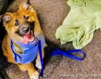 Спасенный щенок стал незаменимым сотрудником полиции. Для него даже придумали новую должность