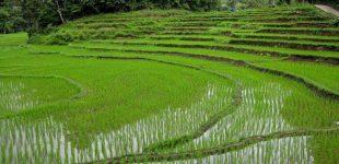 Ученые: в мире наступит «рисовый кризис», — миллионы люди будут голодать