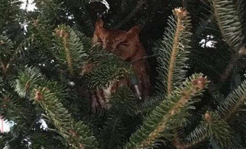 Американская семья нашла сову в рождественской елке